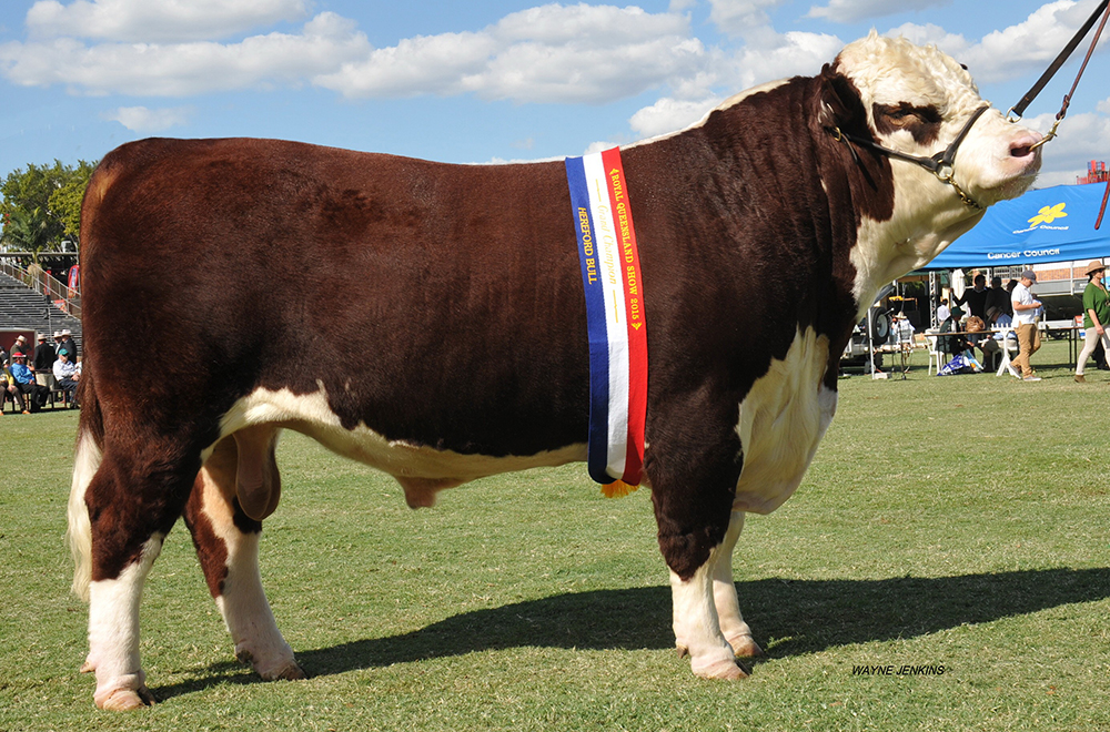 Junior Champion Hereford Bull at Beef 2015 Grand Champion Hereford Bull at Brisbane Ekka 2015 -  Wallan Creek Victory Blend J364